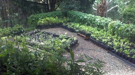 Varieties: Bambusa Oldhamii, D.Asper, Oxy- Abyssinica, Bambusa Tuldoides  Bambusa Balcoa, Moso, D. Hamiltoni, D. Latifloris, Green Hedge and a few others.